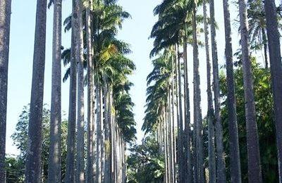 Palm alley, Jardim Botanico